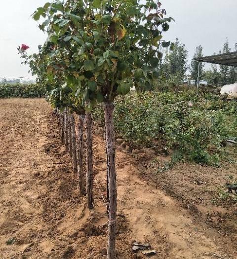 河南省南阳市卧龙区 4公分树状月季