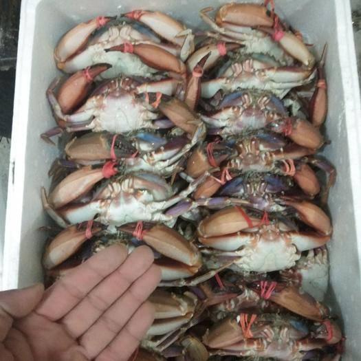 遼寧省丹東市東港市 赤甲紅蟹,一箱十斤。