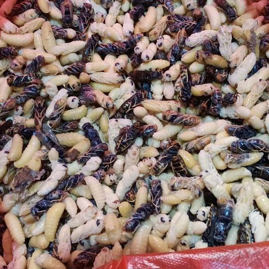 浙江省金华市义乌市 一二四级生冻熟冻地蜂蜂蛹,树蜂蜂蛹