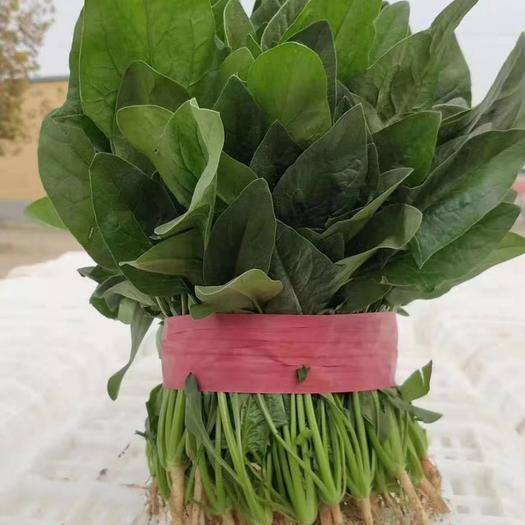 山东省济宁市金乡县 圆叶菠菜代发全国各地市场  质量好