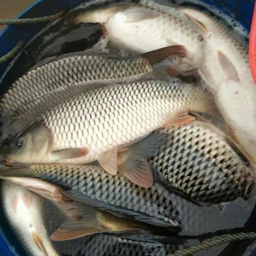 云南省昭通市昭阳区池塘鲤鱼 均重4斤左右,品质好适合各种场合