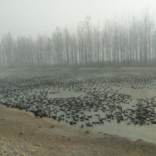 湖北省荆州市荆州区 30000只青壳4号公鸭预售。价格美丽