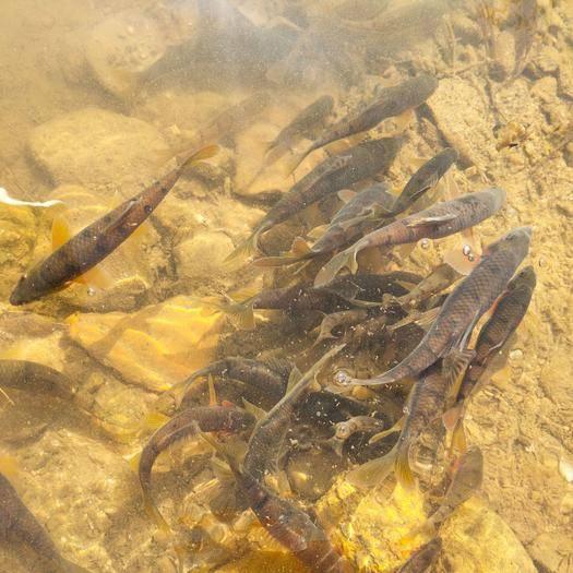 江西省赣州市安远县淡水石斑 溪石斑(光唇鱼)商品鱼有需要的老板可以关注一下!