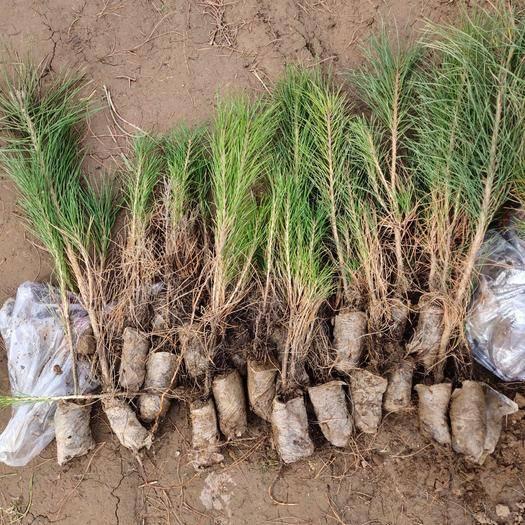 甘肅省慶陽市西峰區旱地油松 油松苗