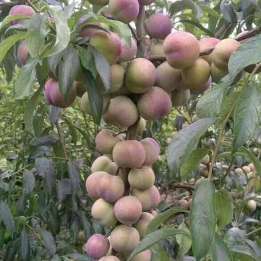 四川省成都市青白江区半边红李子苗 晚熟品种,脆甜离核,口感爽脆。