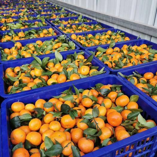 广西壮族自治区梧州市万秀区 沙糖桔.百家果.每天至少可以提供十几万斤以上