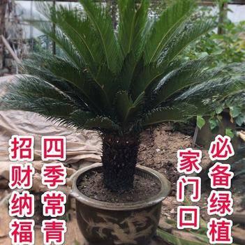 华南苏铁 铁树植物 四季常青 盆栽地栽庭院门口耐寒耐旱 南北方种植