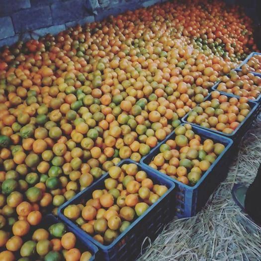 湖南省湘西土家族苗族自治州凤凰县 甜甜的椪柑