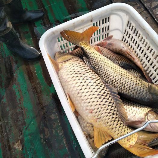 湖北省荆州市公安县湖鲤鱼 人工养殖 6公斤以上