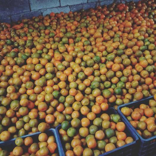 湖南省湘西土家族苗族自治州凤凰县 甜甜的新鲜椪柑,刚下树鲜果