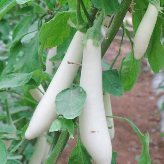 江苏省南京市栖霞区 韩国白长茄优质白皮长茄子种子早熟杂交果型优美长25-35c