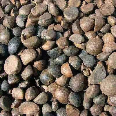 湖南省岳陽市岳陽縣 本地油茶籽,全干籽。