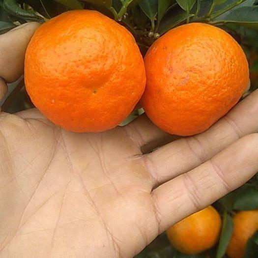 广西壮族自治区柳州市鹿寨县 沙糖桔开始上市,本人代办多年可以帮各地老板找到各种价位的货