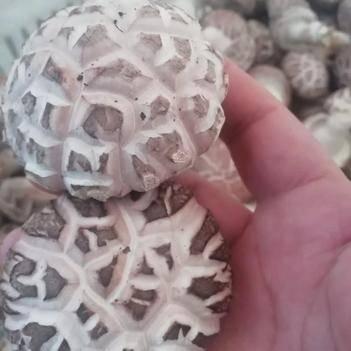 香菇菌种、菌棒