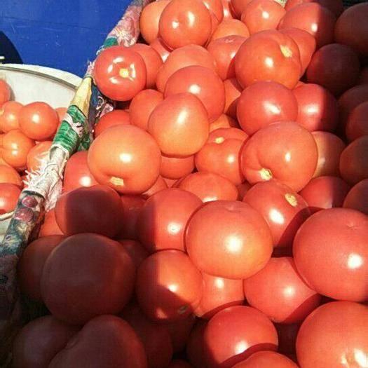 四川省攀枝花市米易县果粉西红柿 精品 弧三以上 硬粉