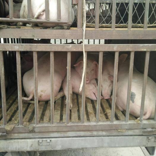 贵州省毕节市大方县二元仔猪 三十斤到四百斤都有如需购买速度联系