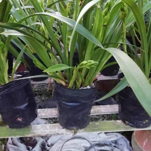 廣東省清遠市英德市小神童蘭花 帶盆栽好