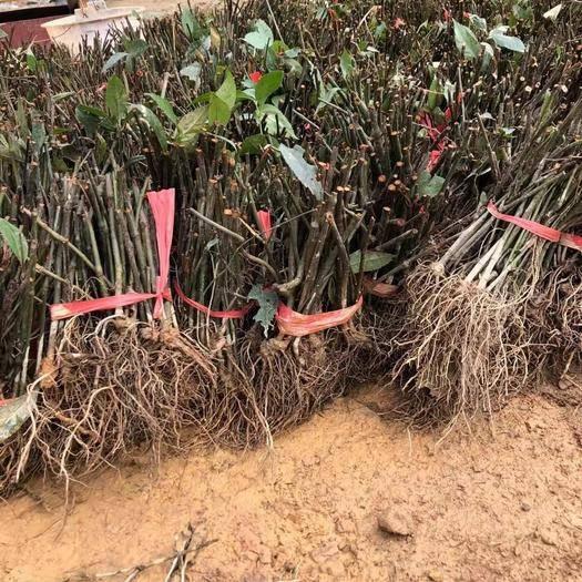 四川省成都市新都区 草珊瑚苗子种子