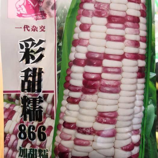 湖北省武汉市武昌区 早熟甜糯鲜食玉米种子