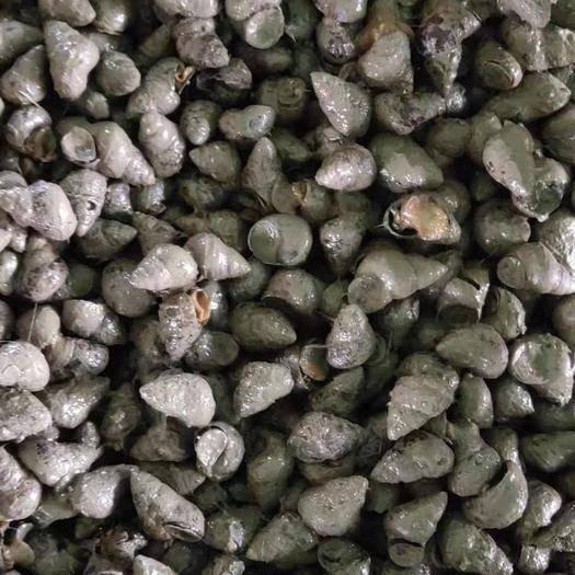 湖北省荆州市监利县 鲜货淡水石螺,每天供应,货源充足。