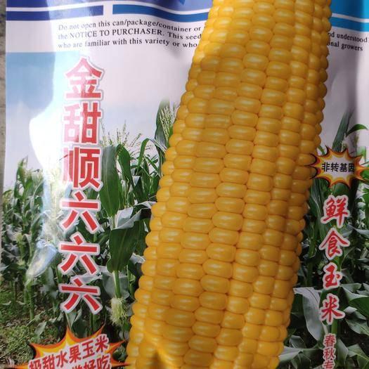 江西省上饶市余干县水果玉米种子 金甜顺水果玉米 皮薄好吃极甜 非转基因籽粒金黄饱满
