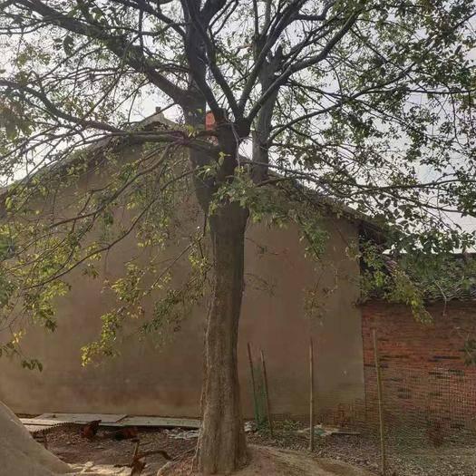 湖北省荆门市京山市 朴树,丛生朴树【10~80公分】规格齐全、价格便宜