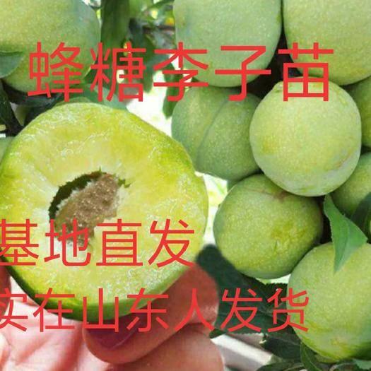 山東省臨沂市平邑縣蜂糖李樹苗 蜂糖李子苗   產量高  口感好 基地直銷