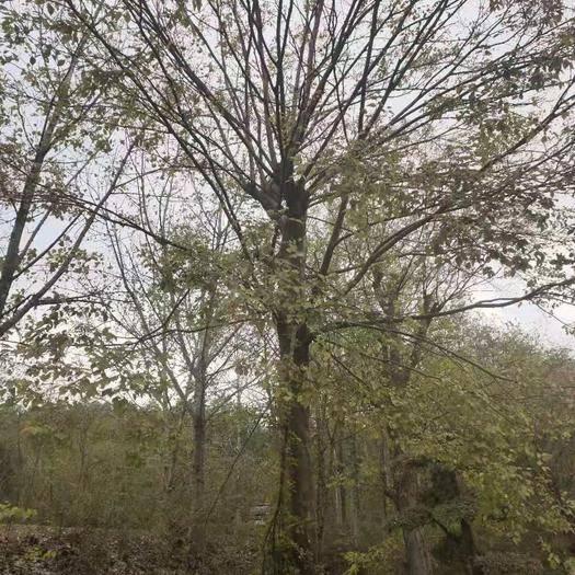 湖北省荆门市京山市 朴树,丛生朴树(10~70公分山货)规格齐全,数量多价格便宜