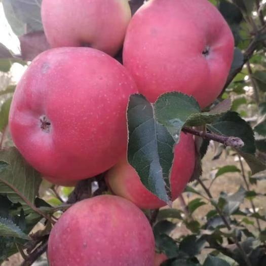 河北省衡水市桃城區 河北三優蘋果,農大合作,獲獎品種,果園直銷,不施化肥的生態果