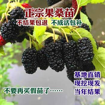 红果3号桑树苗 正宗果桑树   基地直供   果子甘甜    嫁接品种