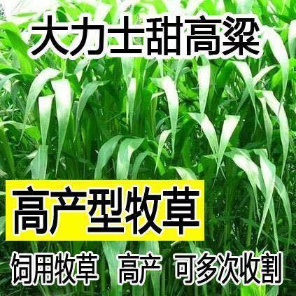 江蘇省常州市天寧區 大力士甜高梁 飼用甜高粱種子高產耐旱進口養牛羊牧草種子