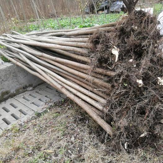 湖北省十堰市张湾区竹柳 大量出售树形好起苗快