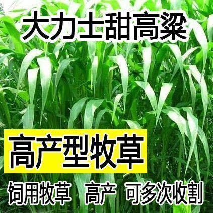 江苏省常州市天宁区 大力士甜高梁 饲用甜高粱种子高产耐旱进口养牛羊牧草种子