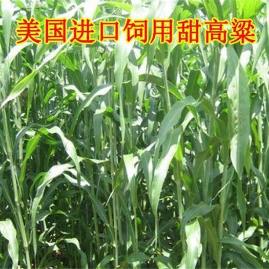 江苏省宿迁市沭阳县 大力士甜高梁 饲用甜高粱种子高产耐旱进口养牛羊牧草种子