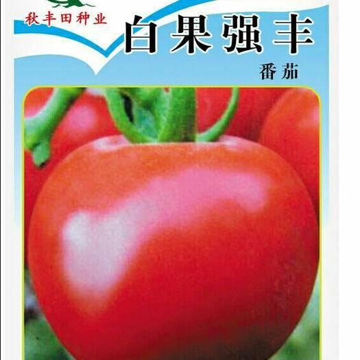 内蒙古自治区包头市固阳县粉果番茄种子 白果强丰