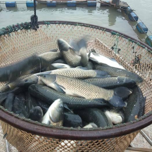 江西省吉安市万安县网箱草鱼 人工养殖