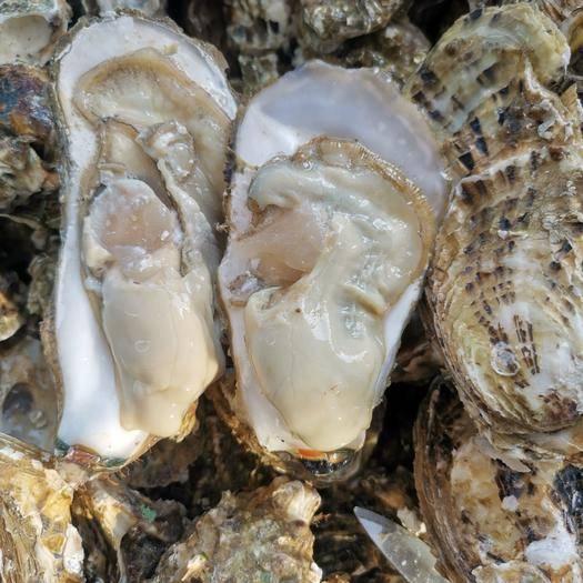 山东省威海市乳山市乳山牡蛎 海水 6两以上/只   鲜活水产