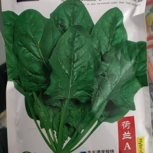 吉林省通化市梅河口市大叶菠菜种子 荷兰 A 9