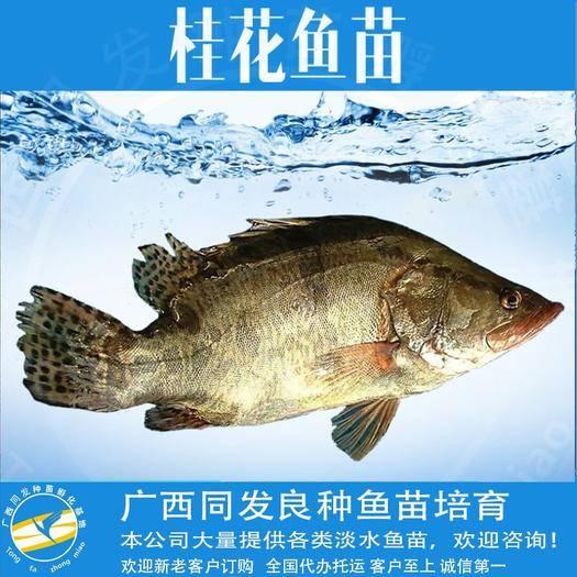 广西壮族自治区钦州市钦南区桂鱼苗 桂花鱼
