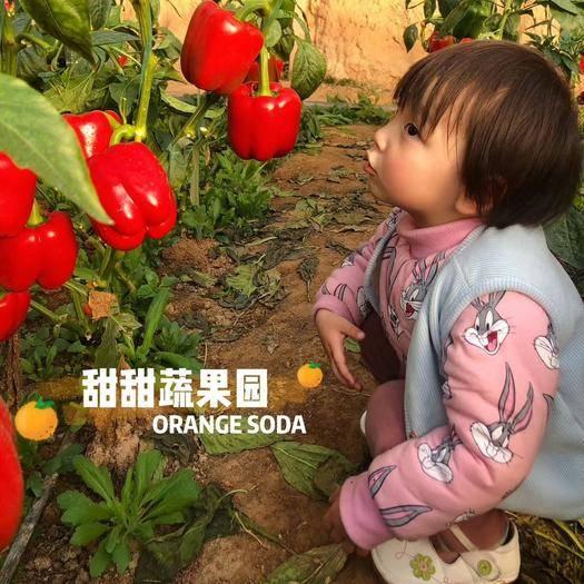 山东省潍坊市诸城市 自家五彩椒 红椒,接受预调定,色泽亮,果型好!