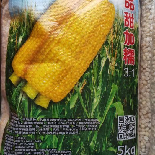 吉林省通化市梅河口市玉米种子 黄甜糯玉米