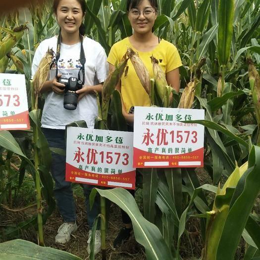河南省鹤壁市淇滨区 永优加多苞,高产玉米种子黄金组合,包地大户年年找!