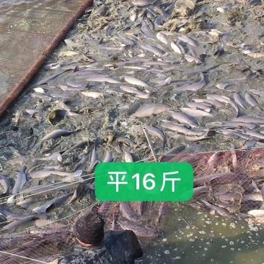 江苏省盐城市大丰区乌青鱼 10-18公斤 人工养殖
