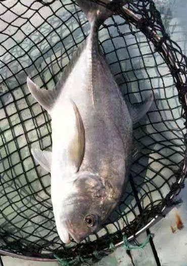 海南省??谑辛煳灿?养殖深海鱼。吉星