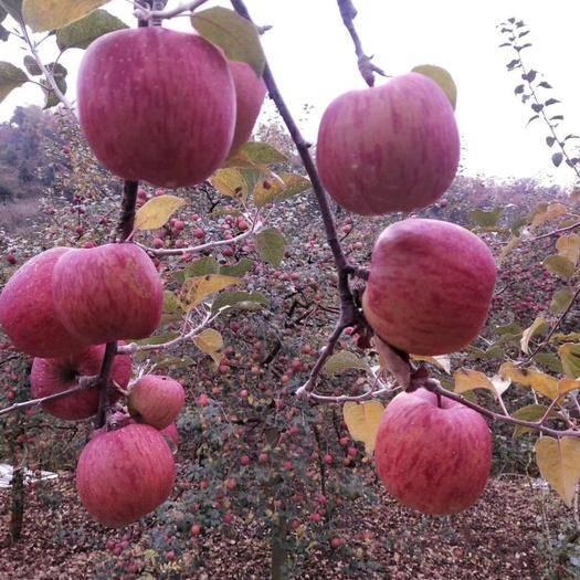 四川省雅安市汉源县 四川雅安汉源高山红富士苹果糖心苹果丑苹果