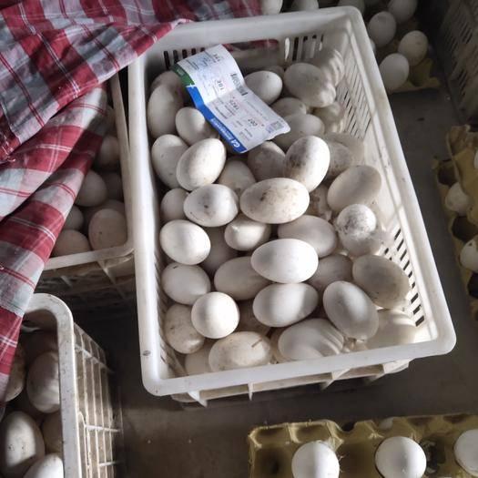 河北省石家莊市欒城區種鵝蛋 鵝種蛋豁眼鵝種蛋豁眼鵝雜交種蛋
