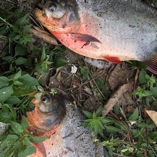 广东省湛江市麻章区 这家水库淡水养殖的金鲳鱼,鲢鱼都快卖疯了,大家抓紧来看看吧