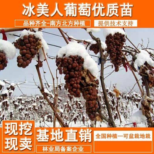 山东省临沂市平邑县 晚熟葡萄金优2号葡萄树苗冰美人葡萄苗冬天结果的冰葡萄