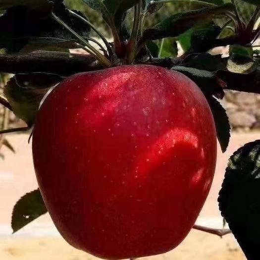 山东省临沂市平邑县 鲁丽苹果苗 当年结果苗 现挖苗 包成活 免费技术跟踪指导