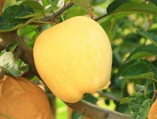 山东省临沂市平邑县维纳斯黄金苹果苗 1~1.5米